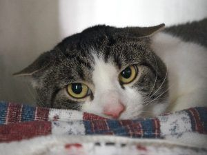 TIGGER – A1115629  Safe - 6-25-2017 Manhattan Rescue: Feline Rescue of SI Please honor your pledges: http://felinerescueofstatenisland.org/donation/  - 3yrs  HEALTHY MALE - abandoned and now he is at the shelter scared and alone.