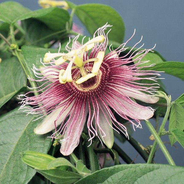 Passion Flower Serratifolia Passiflora Species Plants Blooming Plants Passiflora