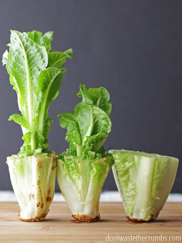 How to Regrow Food in Water: 10 Foods that Regrow Without Dirt Save money and regrow food scraps in water. Perfect if you don't have room for a vegetable garden & are trying to save a few bucks! But which veggies or fruit will regrow from scrap? We've compiled a list beyond just green onions, lettuce and celery. And also included how to regrow them by putting the roots in water and more!
