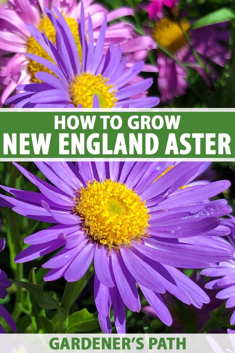 How To Grow New England Aster Gardener S Path In 2020 Aster Flower Best Perennials Native Plant Landscape