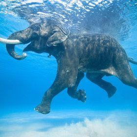 Rajan the swimming elephant by Jody MacDonald