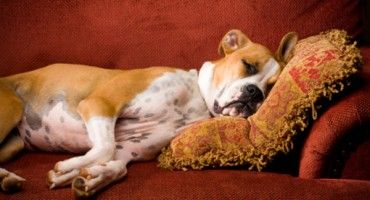 How To Get Dog Smell Out Of Couch Pet Odors Dog Smells Pets