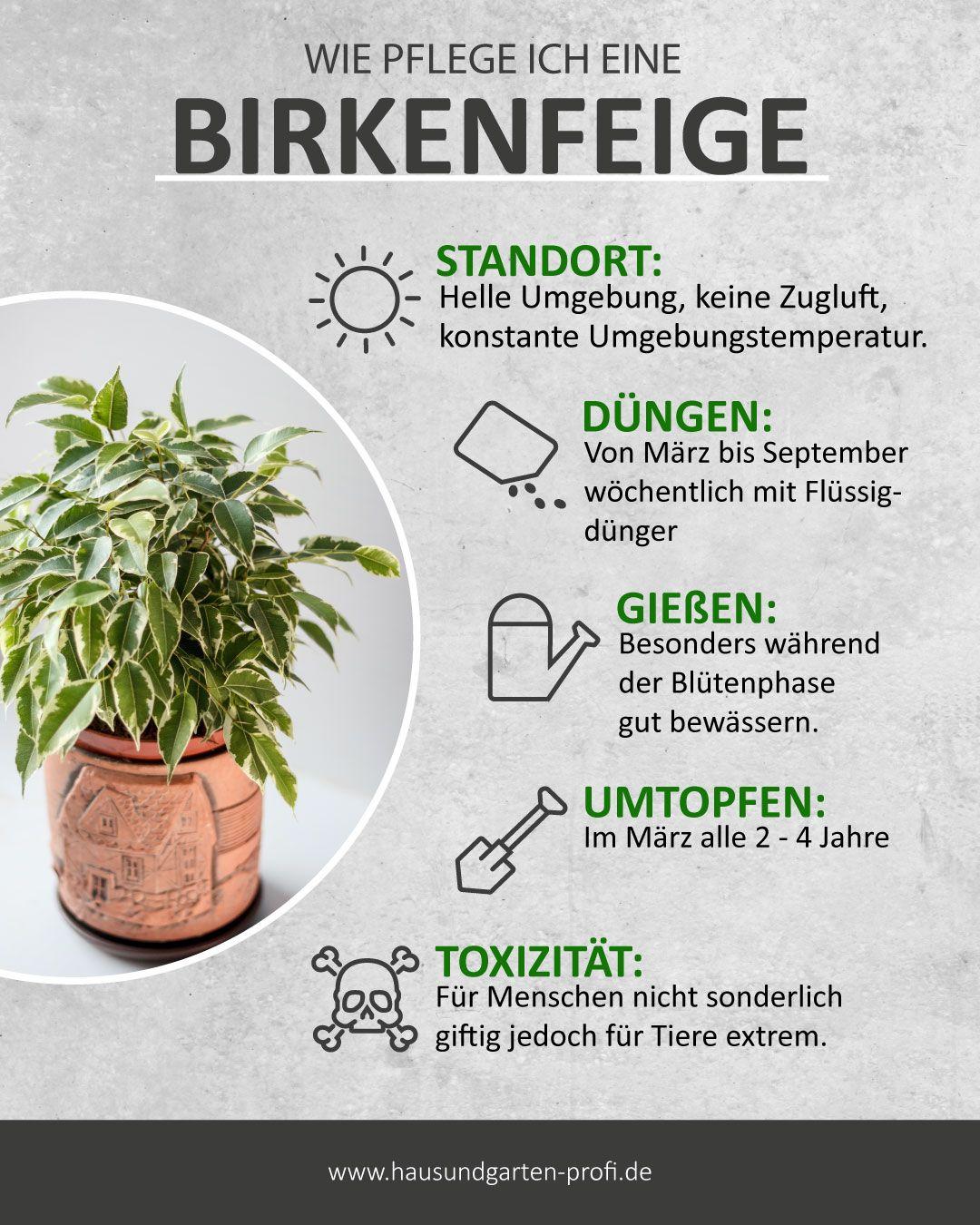 Birkenfeige: So einfach kanns gehen (Standort, Düngen, Gießen, Umtopfen)
