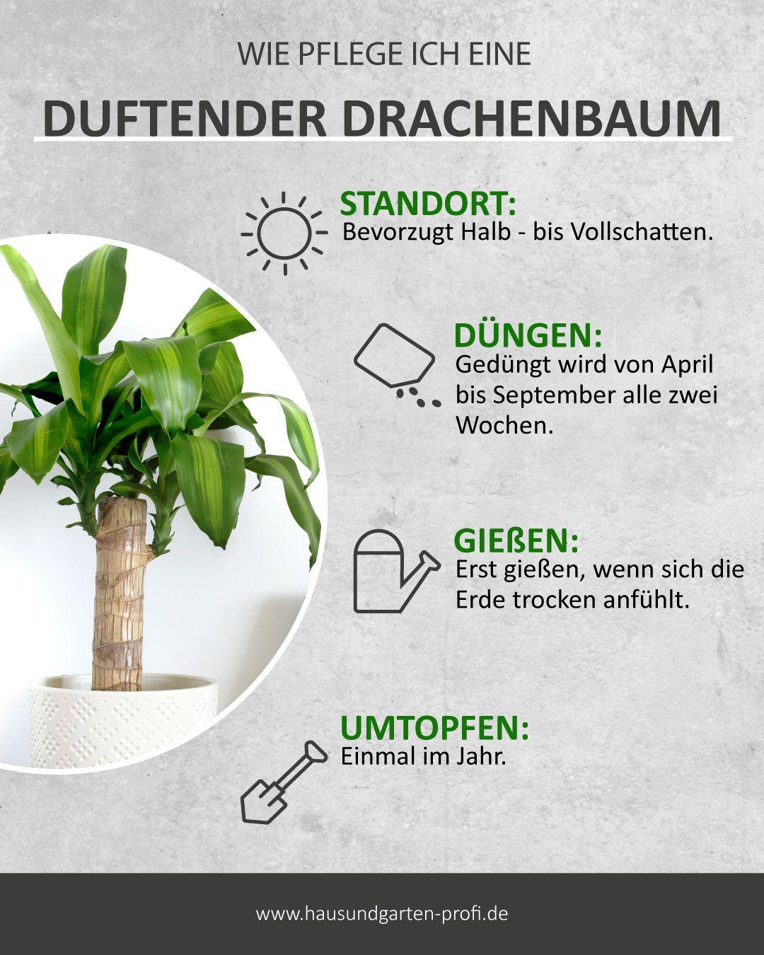 Drachenbaum Standort Tricks Und Tipps Zum Thema Pflege Giessen Dungen Standort In 2020 Ungewohnliche Pflanzen Pflanzen Pflege Garten Pflanzen