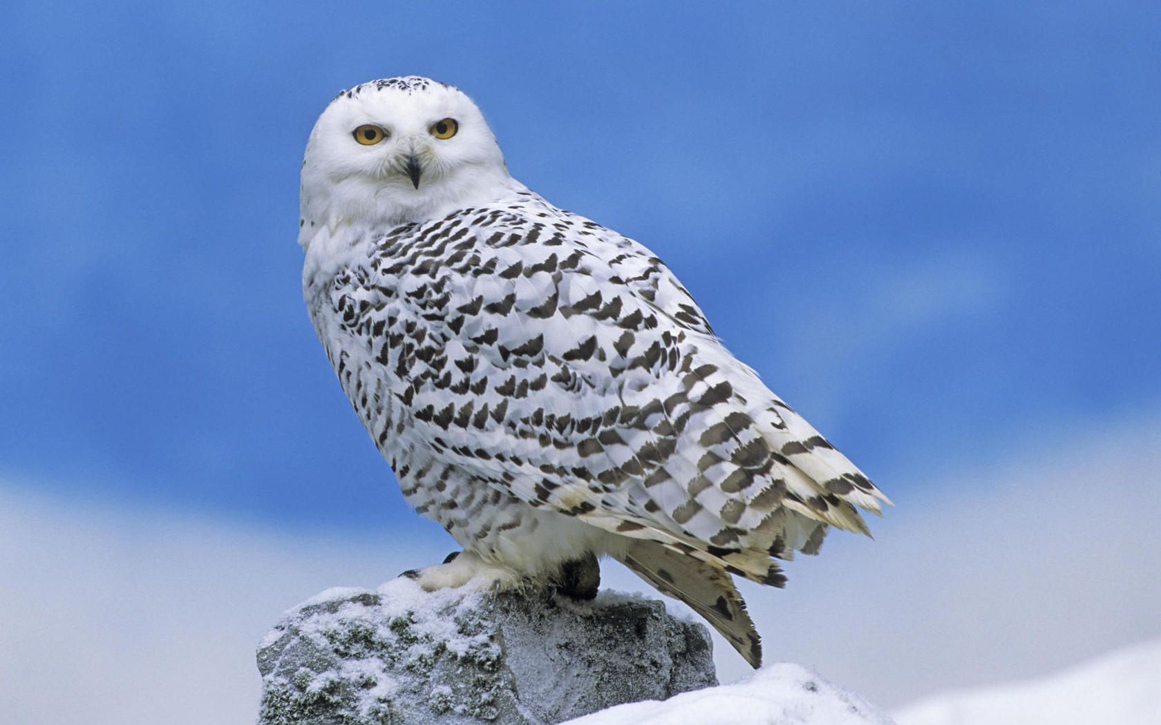 Snowy Owl Desktop Wallpaper Snow Owl Snowy Owl Owl Wallpaper