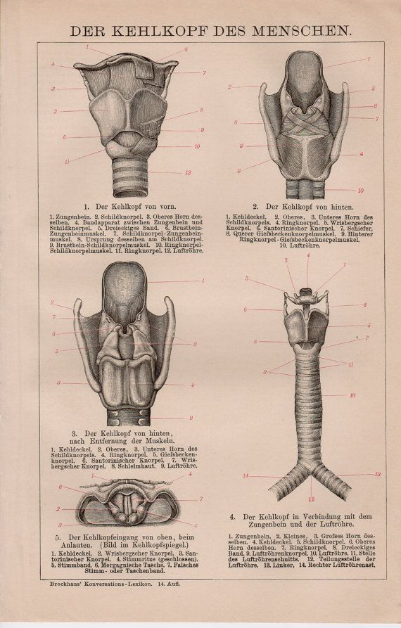 1884 Larynx Anatomy, Antique Lithograph, Medical, Medicine, Trachea ...