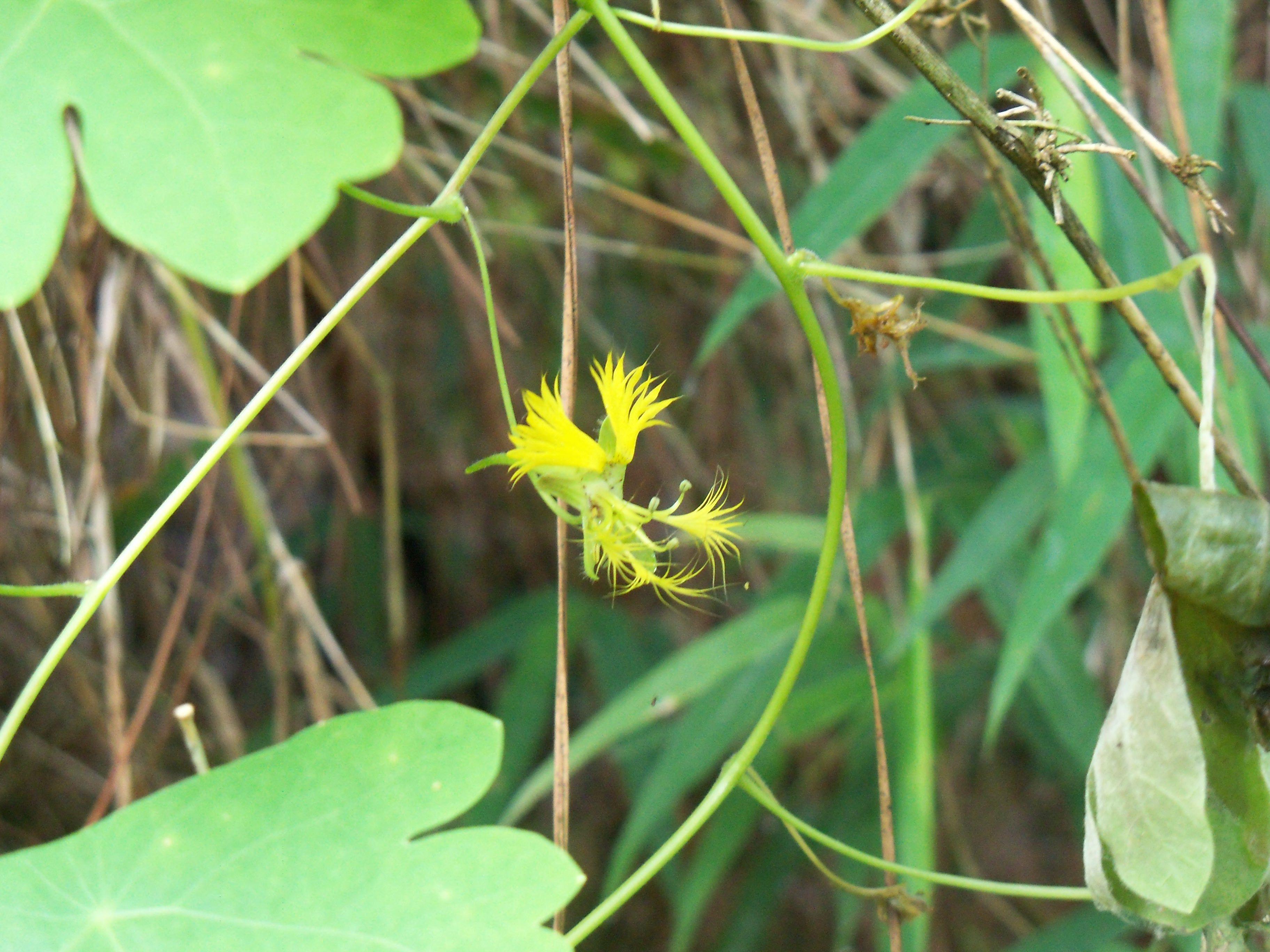 Flor de Tropaeolum warmingianum -Tropaeolaceae