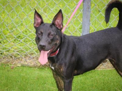 Labrador Retriever dog for Adoption in West Palm Beach, FL