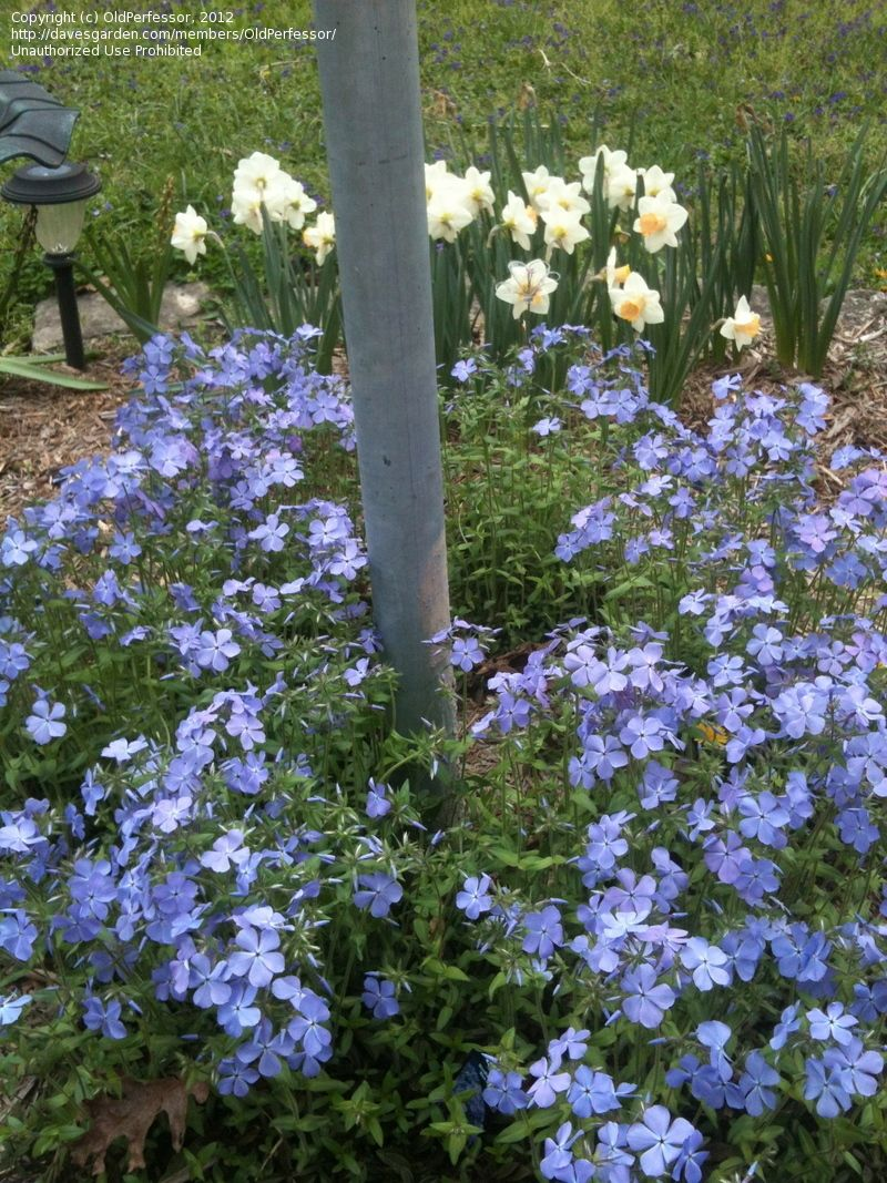 Phlox Divaricata Blue Moon Called Woodland Phlox Or Wild Sweet