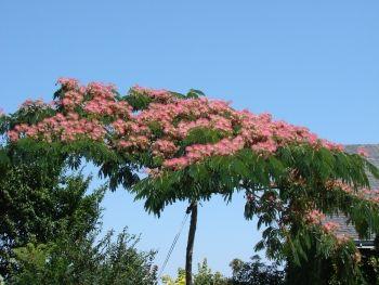 albizia julibrissin ombrella jardinage pinterest arbuste jardins et arbuste fleuri. Black Bedroom Furniture Sets. Home Design Ideas