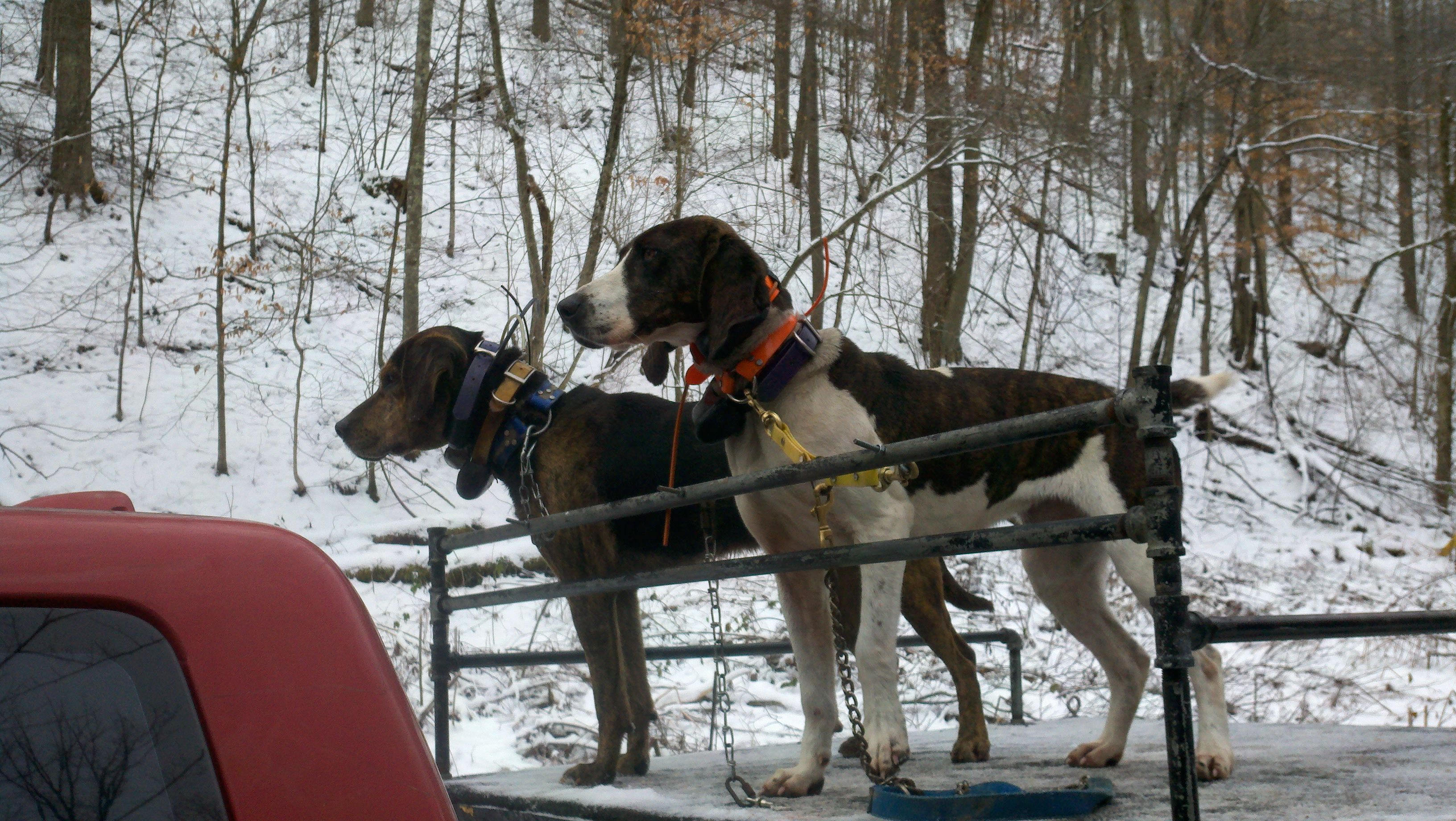 Rigging For Bear Hound Dog Bear Hunting Hunting Dogs