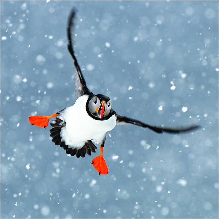 Flying Puffin Charity Christmas Card. Helping To Raise