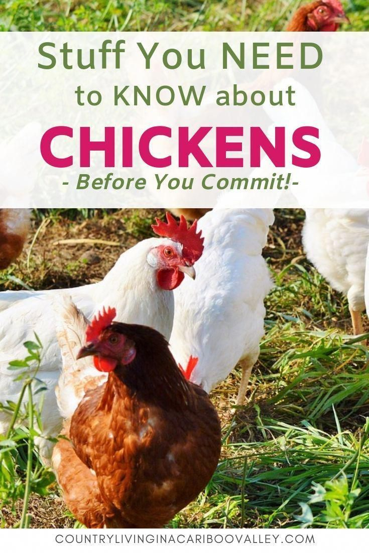 Here's what you need to learn about keeping chickens in ...