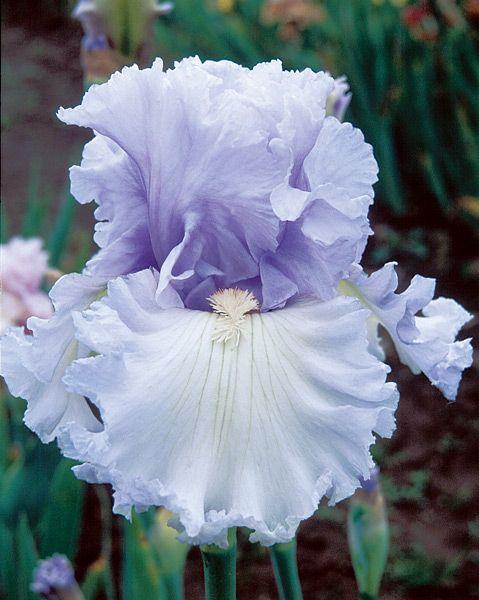 tall bearded iris royal sterling - Google Search