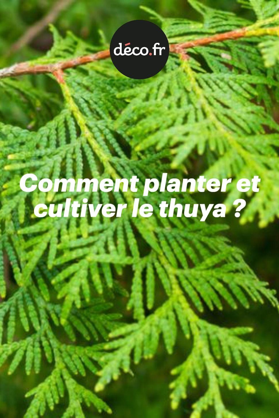#arbre en pot terrasse #Comment #Cultiver #planter #thuya ...
