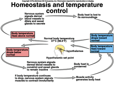 Homeostasis in the human body this uses temperature control as an example also rh pinterest