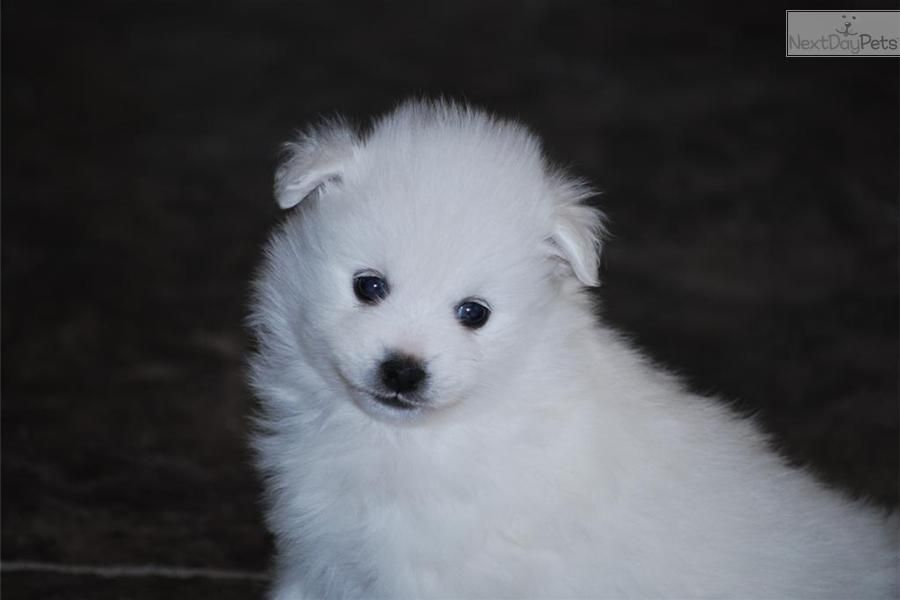 Meet Male a cute American Eskimo Dog puppy for sale for $1,500. Mr. White (Toy)