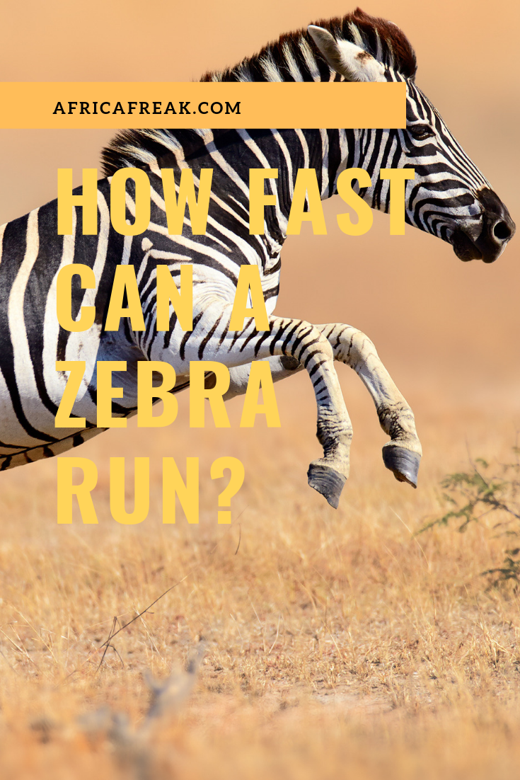 How Fast Can a Zebra Run? The Complete Story About Its Speed | Best