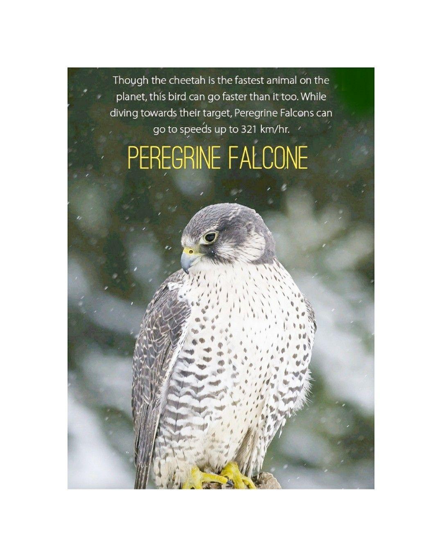 Pin By Vasu Chittoor On Vasu Chittoor Quotes Peregrine Falcon Animals Peregrine