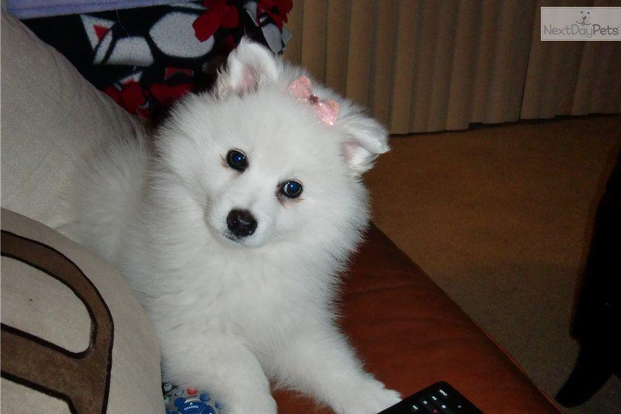 Ukc Pr Small Mini American Eskimo California Girl American