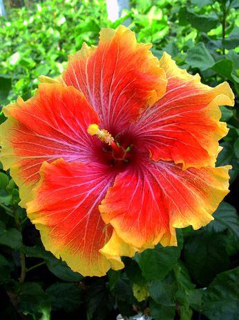 Tahitian Hibiscus 'Orange Garnet'