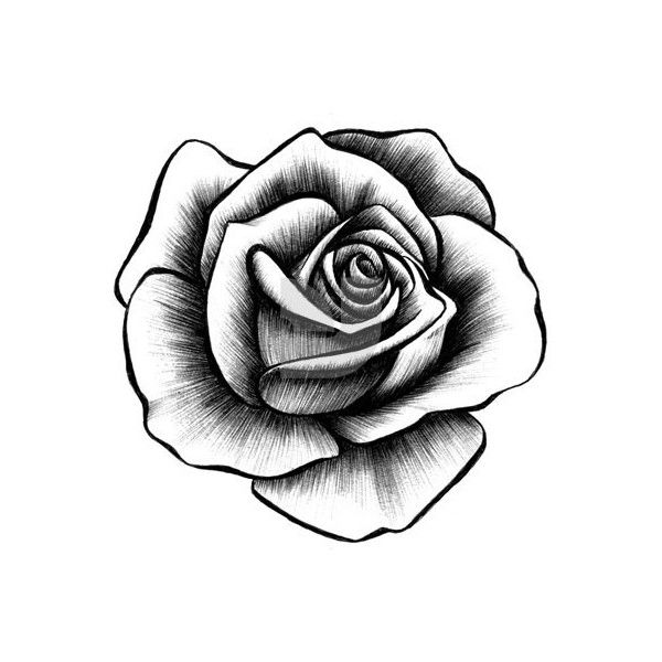 Hand Drawn Rose Collection Liked On Polyvore Featuring Home Home Decor Extras Art And Rose Home Decor Roses Drawing Rose Tattoo Design Rose Illustration