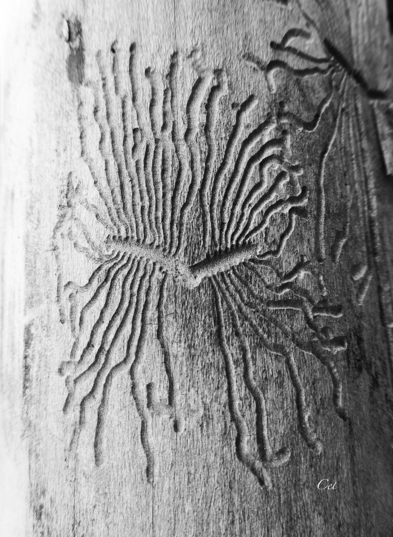 Pas encore trouvé quel insecte dessine ces magnifiques galeries graphiquement… - #and #black #dead #detail #nature #on #original #photographers #tree #tumblr #White #wood