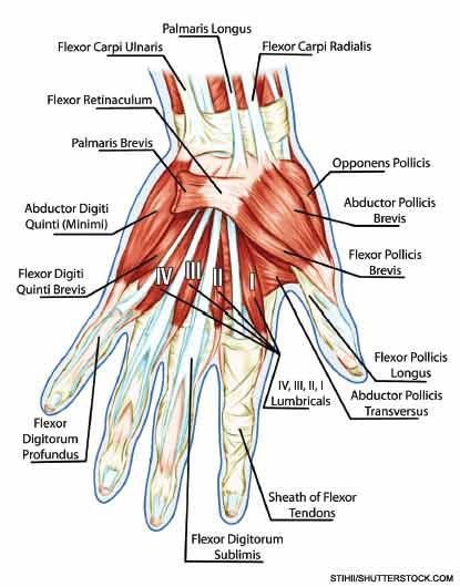 Anatomy of muscular system of the hand. | anatomy drawings ...