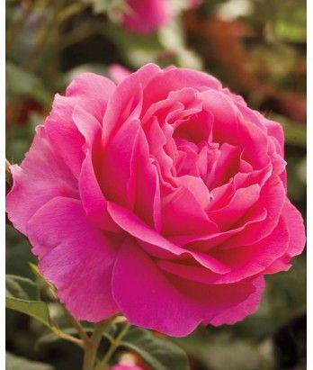 Rosa Grande Dame