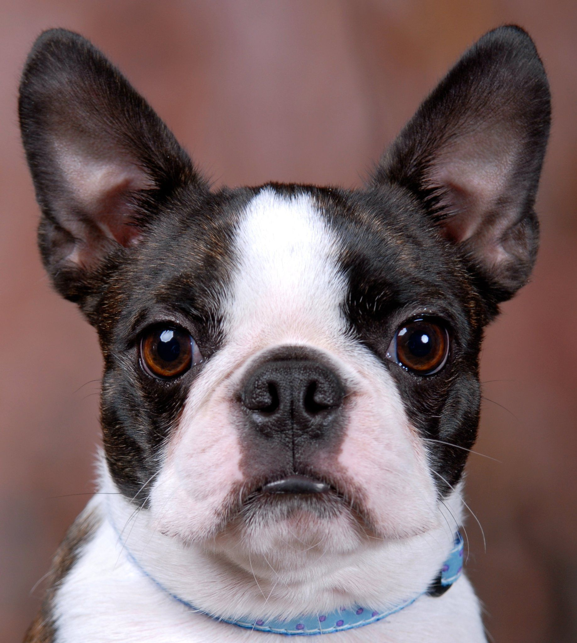 Boston Terrier, looks like Gracie's littermate. Boston
