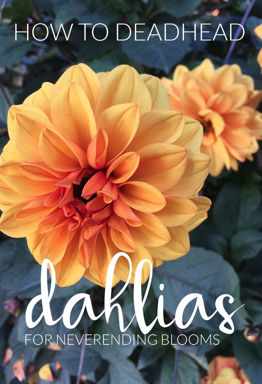 How to deadhead dahlias for blooms all season long bulb growing the impatient gardener how to deadhead dahlias for blooms all season long izmirmasajfo
