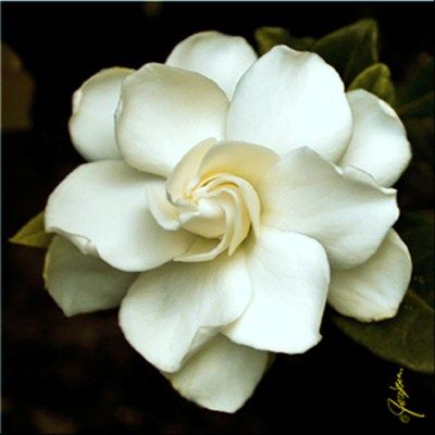 I Can Smell Them Outside The Window Gardenia Tattoo Flowers