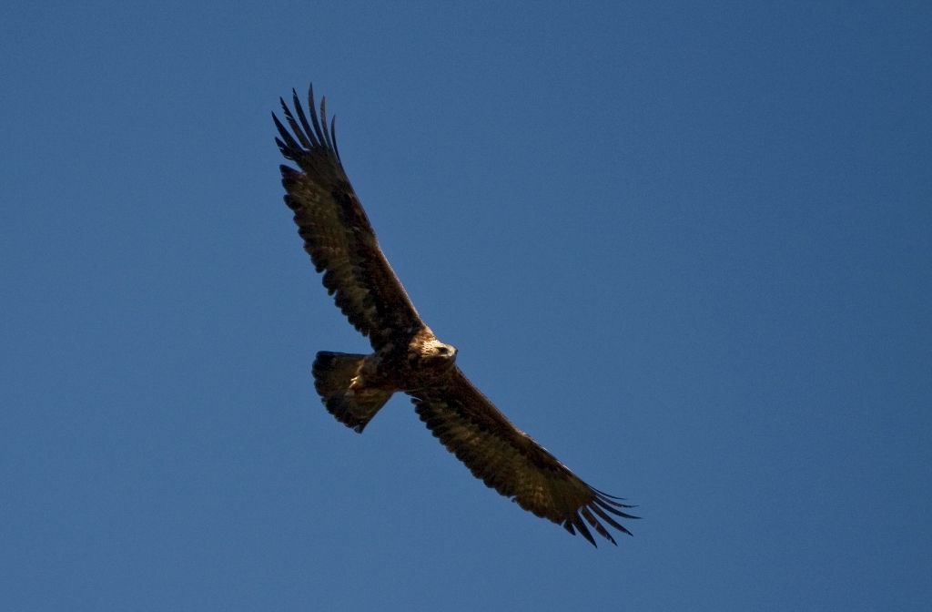 A golden eagle from Parco delle Madonie. Visit the website: http://www.vacanzasiciliamadonie.it