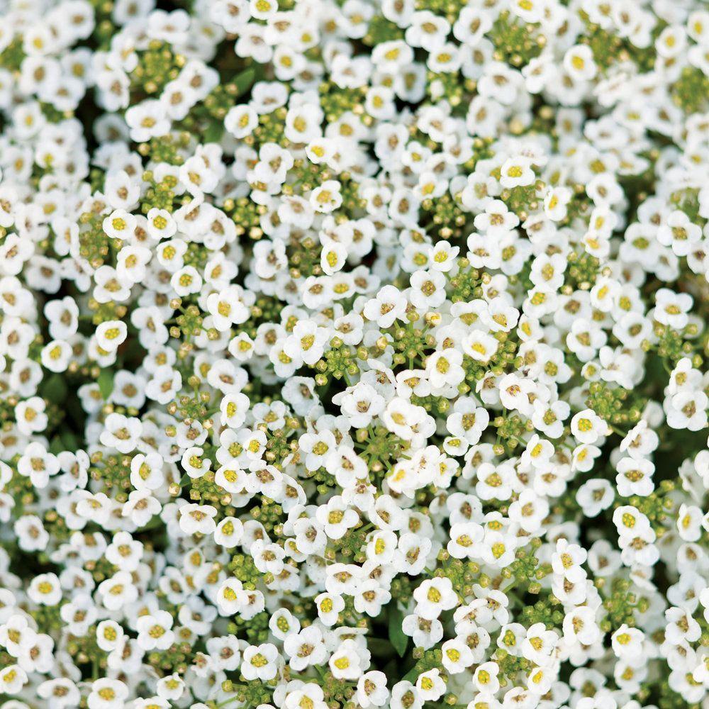 Enjoy a bright garden with these gorgeous white flowers alyssum enjoy a bright garden with these gorgeous white flowers izmirmasajfo Choice Image