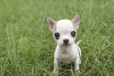 Poppet Cuteness Dogs Cute Dogs Chihuahua Dogs