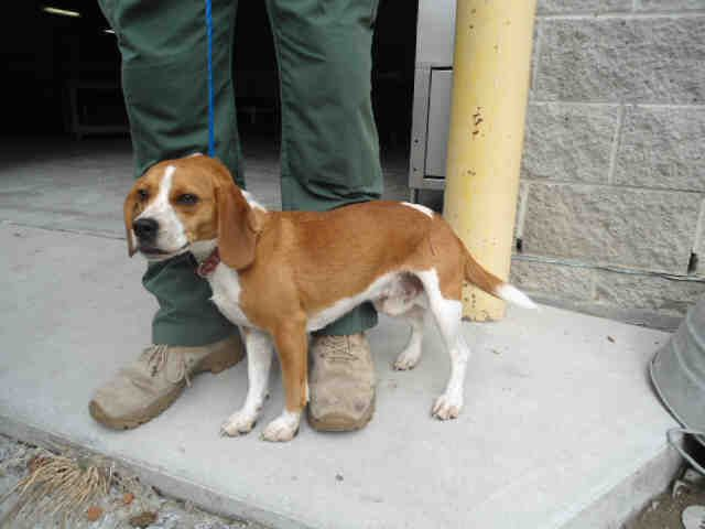 Ncarolina Urgent Copper Id A072626 Is A 1yo Beagle In Need Of A