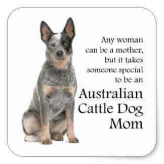Australian Cattle Dog Mom Cattle Dog Australian Cattle Dog