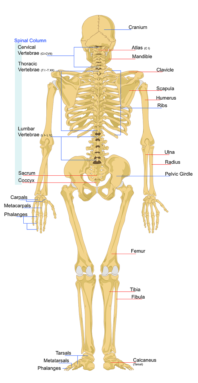 Classification Of Bones And Human Skeleton Human Spine