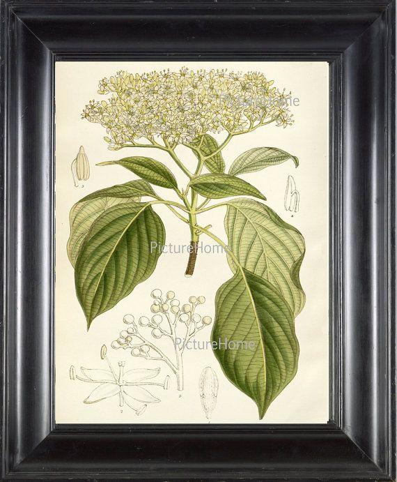 Botanical Art Print Dogwood Tree Plant B14 Beautiful 8X10 White ...