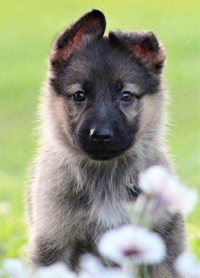Chloey A German Shepherd Puppy German Shepherd German