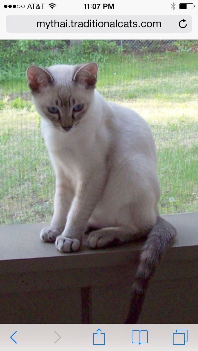 This Is Exactly What My Henry Looks Like Lilac Point Siamese