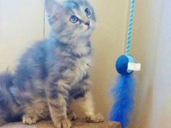 Help Flower Child Bengal Breeder Rescued From Kitten Mill For