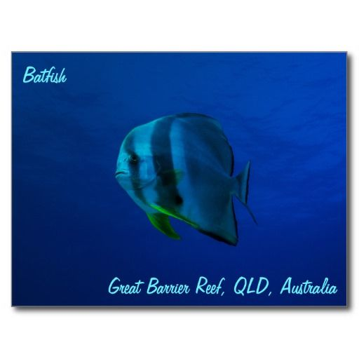 Postcard showing a batfish swimming in the crystal blue waters of the Coral Sea on Australia's Great Barrier Reef. #coral #reef #ocean #sea #diver #tropicalfish #greatbarrierreef #coralsea #coralreef #batfish