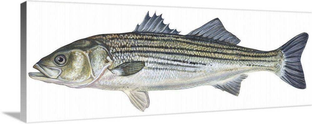 Striped Bass Roccus Saxatilis Canvas Prints Striped Bass Gallery Wrap Canvas
