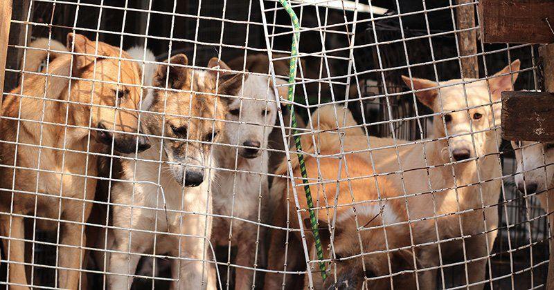 #Des brochettes de viande de chiens ont été vendues à l'insu de nombreux touristes à Bali ! - Demotivateur: Demotivateur Des brochettes de…