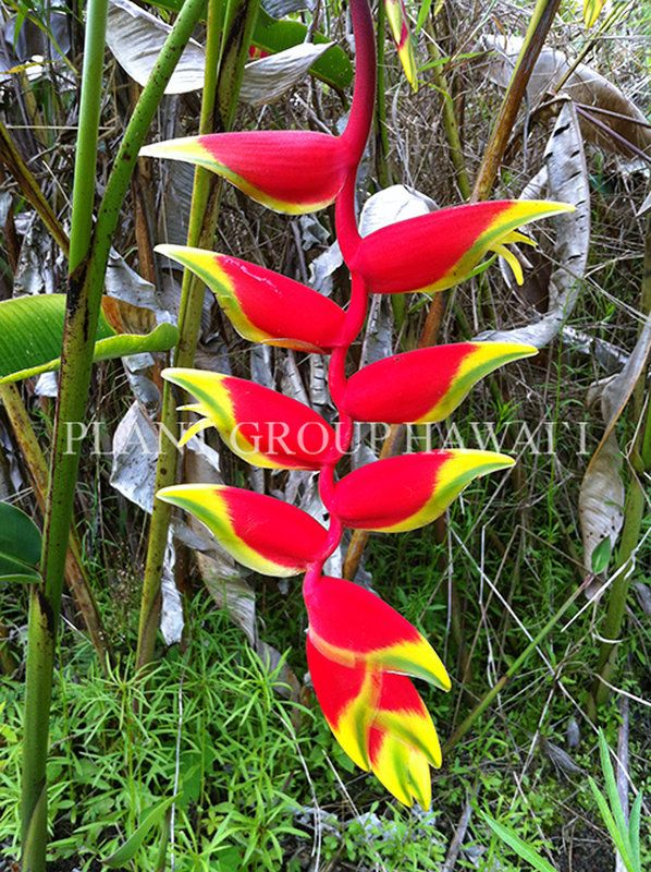 Heliconia Rhizomes For Sale Heliconia Care Plant Group Hawaii Heliconia Ginger Plant Plants