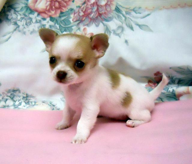 A Photo Of A Chihuahua Puppy Chihuahua Puppies Chihuahua