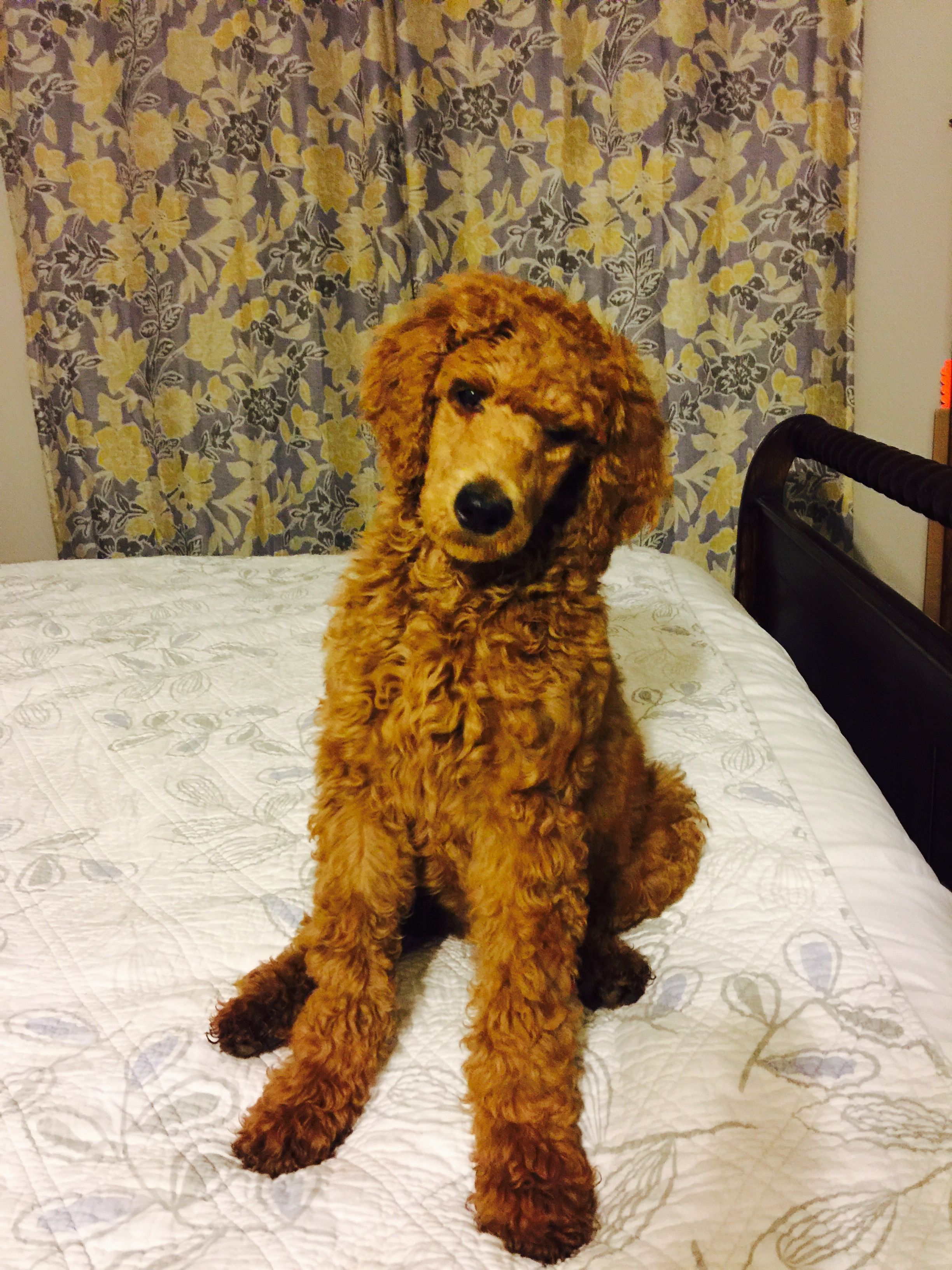 3 Month Old Apricot Standard Poodle Bella Poodle Haircut