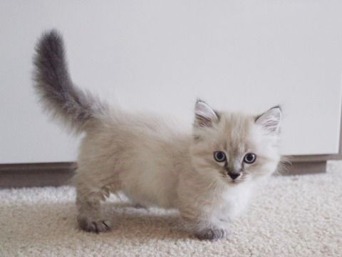 20 Munchkin Cats That Are The Sweetest Little Potatoes To Ever Grace Our Presence