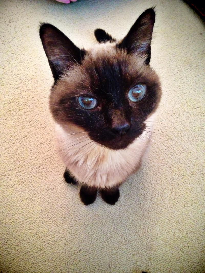 Adopt Charlie Bear on ANIMAL ADOPTIONS Cats, kittens